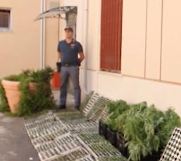 Coltivava droga in mezzo alle zucchine News Agrigentotv